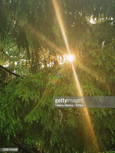 low angle view of sunlight streaming through trees in forest - nikitina stock pictures, royalty-free photos & images