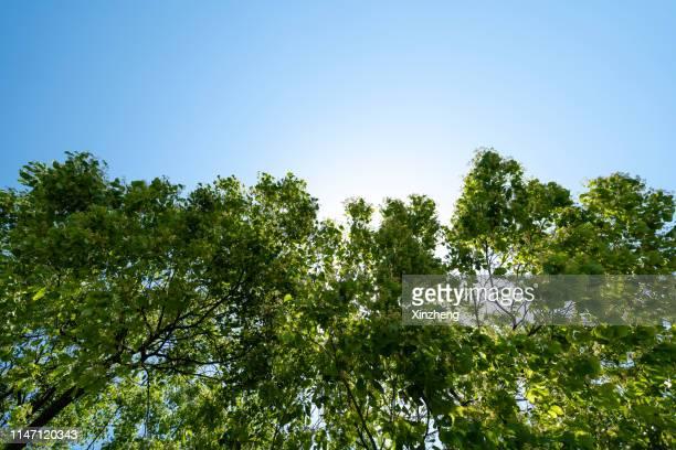 low angle view of sunny canopy of tall trees - trädkrona bildbanksfoton och bilder
