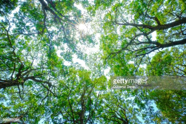 low angle view of sunny canopy of tall trees. - canopy stock pictures, royalty-free photos & images