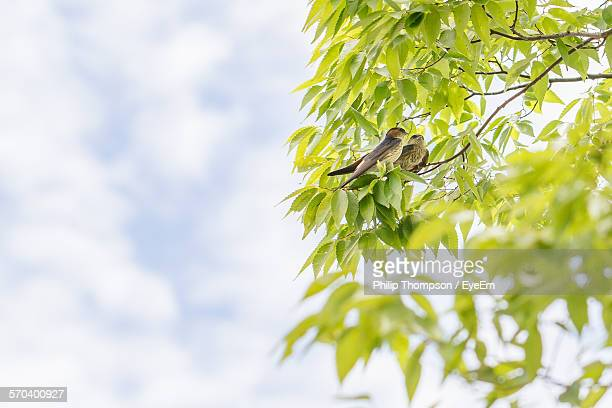 Low Angle View Of Swallow Birds Perching On Twig Against Sky