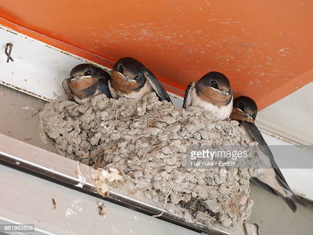 Low Angle View Of Swallows In Nest Under Ceiling