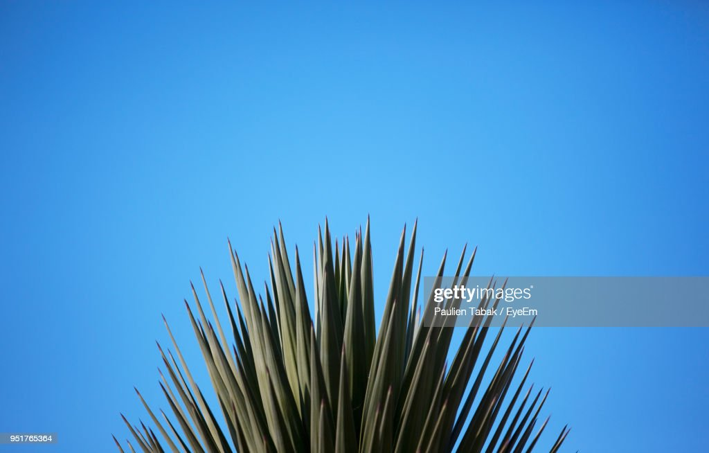 Low Angle View Of Tall Grass Against Clear Blue Sky : Stock Photo
