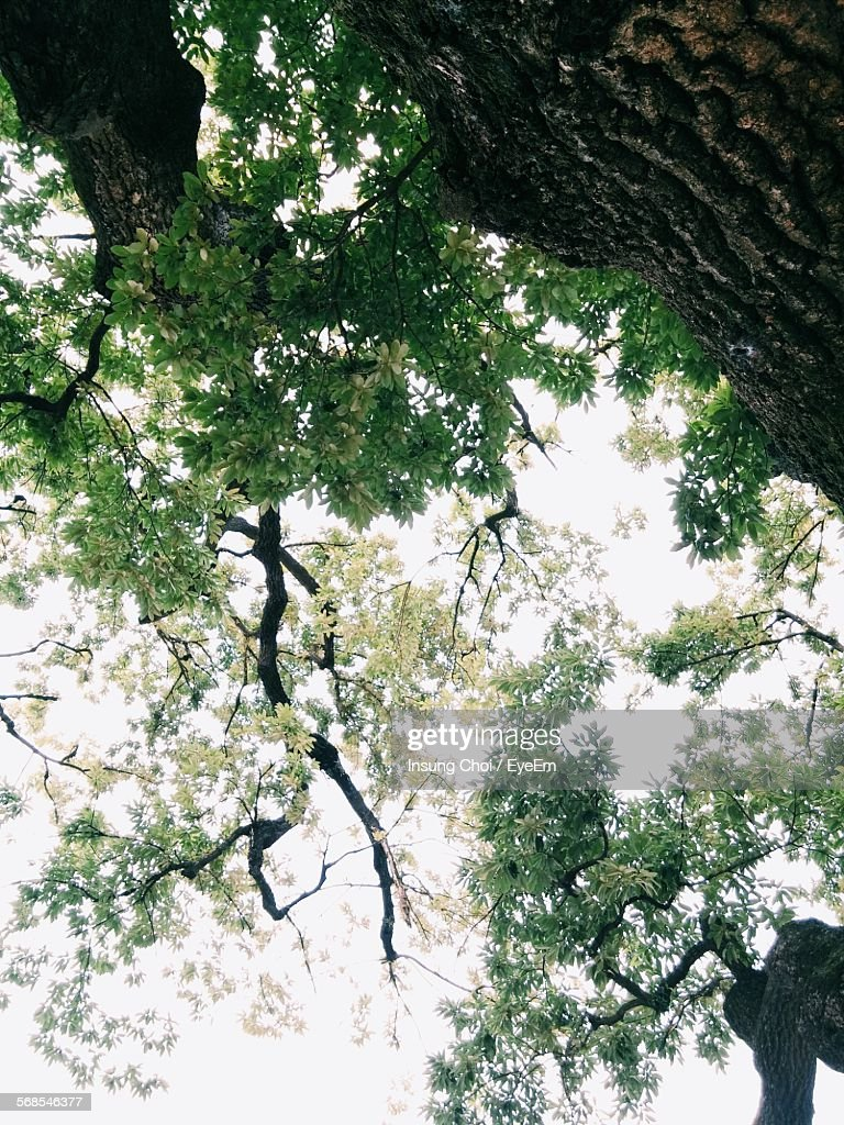 Low Angle View Of Tall Oak Tree : Stock Photo