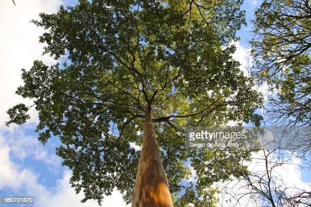 low angle view of tall tree, minas gerais, brazil - ミナスジェライス州 ストックフォトと画像