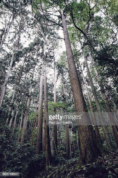 low angle view of tall trees growing in forest - liu he stock pictures, royalty-free photos & images