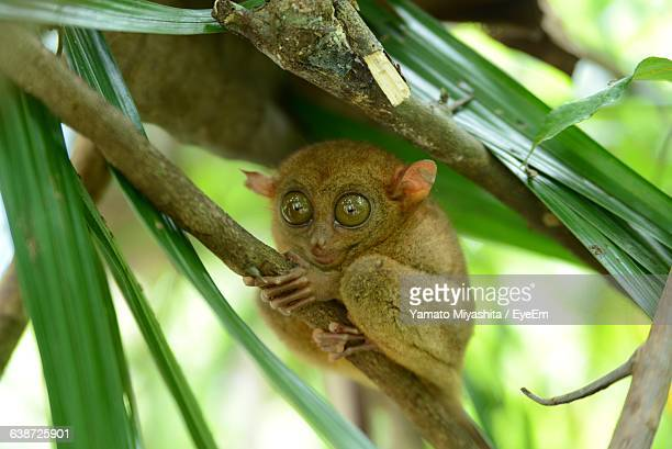 low angle view of tarsiers on tree - tarsier stock photos and pictures