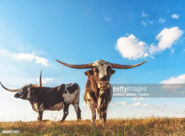 low angle view of texas longhorn cattle standing on field against sky - texas longhorn cattle stock photos and pictures