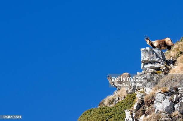 low angle view of the chamois on rock against clear blue sky - andrea rizzi stock pictures, royalty-free photos & images