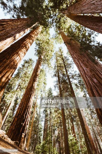 low angle view of the giant sequoia - national landmark stock pictures, royalty-free photos & images