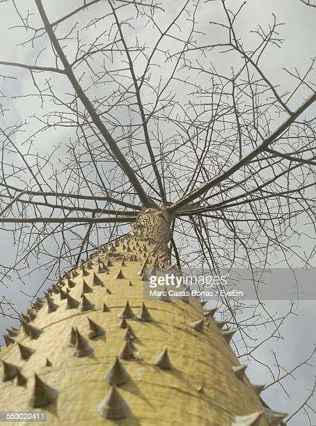 low angle view of thorny tree trunk - tree with thorns on trunk stock photos and pictures