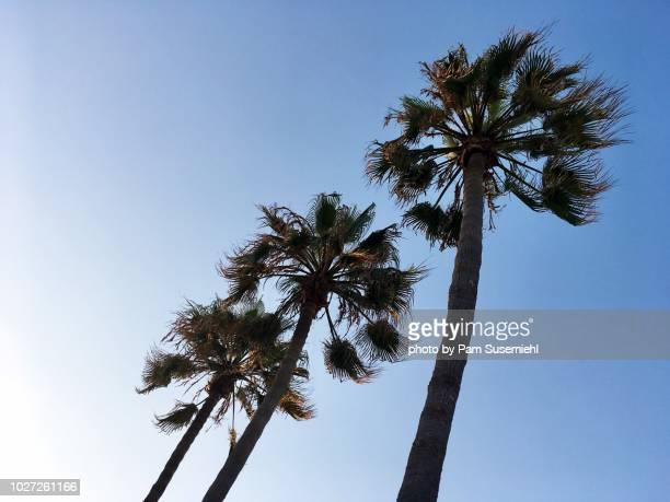 low angle view of three palm trees - inclinando se - fotografias e filmes do acervo