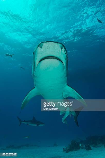 low angle view of tiger shark swimming, tiger beach, bahamas - tiger shark - fotografias e filmes do acervo