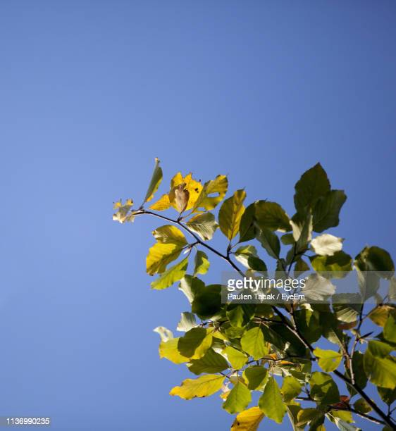 low angle view of tree against clear blue sky - paulien tabak stock pictures, royalty-free photos & images