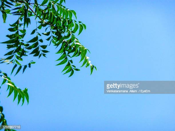 low angle view of tree against clear blue sky - neem tree stock pictures, royalty-free photos & images