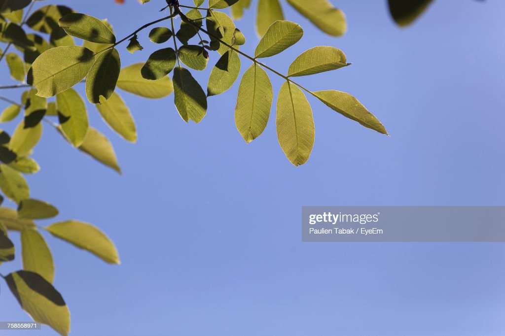 Low Angle View Of Tree Against Clear Blue Sky : Stock Photo