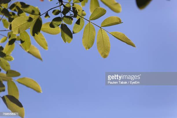low angle view of tree against clear blue sky - paulien tabak stock-fotos und bilder