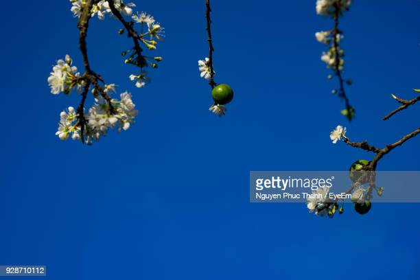 low angle view of tree against clear blue sky - son la province stock pictures, royalty-free photos & images