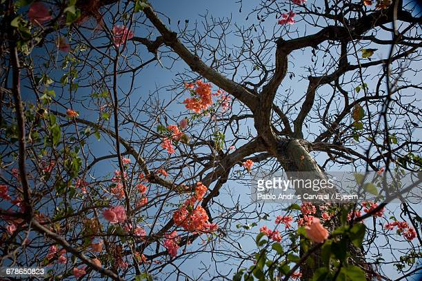 low angle view of tree against clear sky - carvajal stock photos and pictures