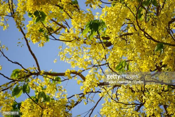 low angle view of tree against clear sky - falguni stock pictures, royalty-free photos & images