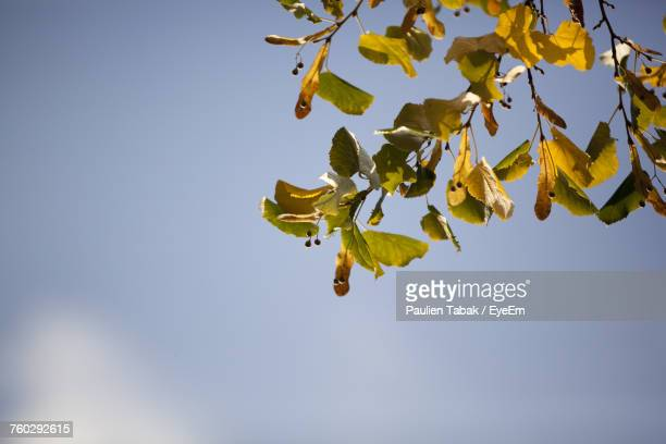 low angle view of tree against clear sky - paulien tabak stock pictures, royalty-free photos & images