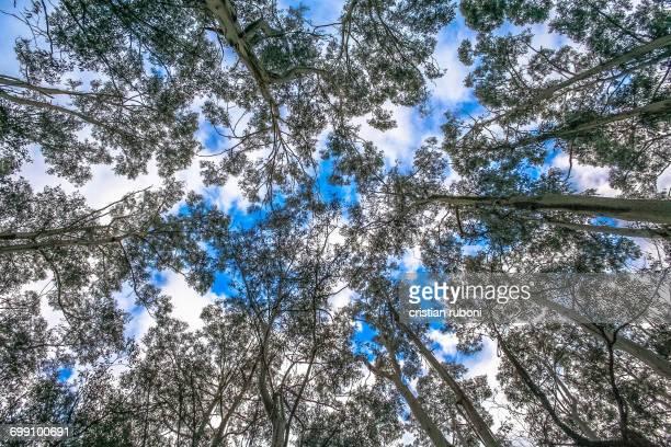 Low angle view of tree canopy, Gippsland, Victoria, Australia