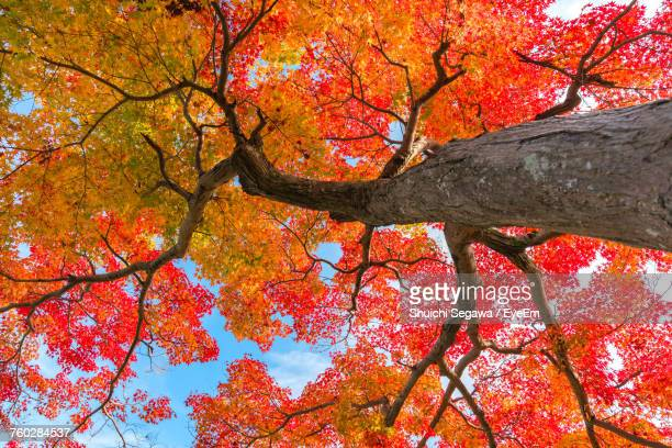 low angle view of tree in forest during autumn - japanese tree stock photos and pictures