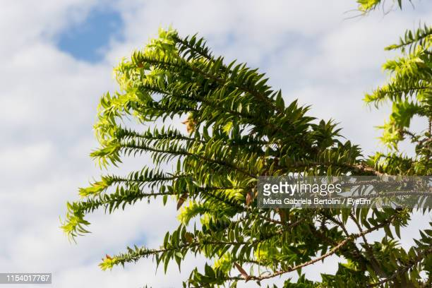 low angle view of tree leaves against sky - gabriela stock pictures, royalty-free photos & images