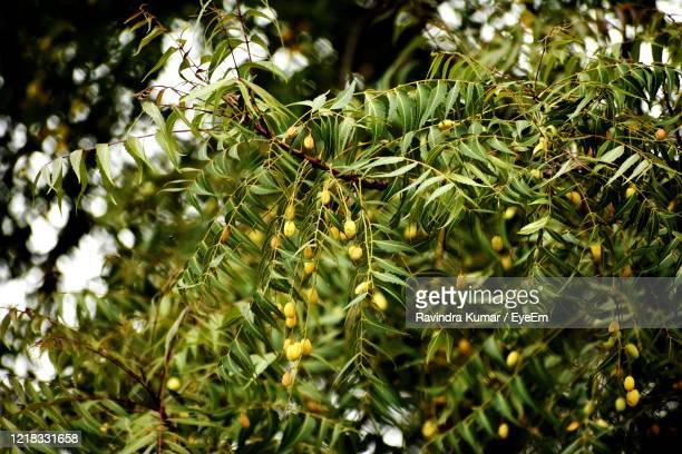 low angle view of tree - neem tree stock pictures, royalty-free photos & images
