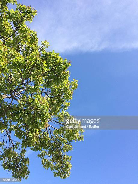 low angle view of trees against blue sky - lienhard stock pictures, royalty-free photos & images