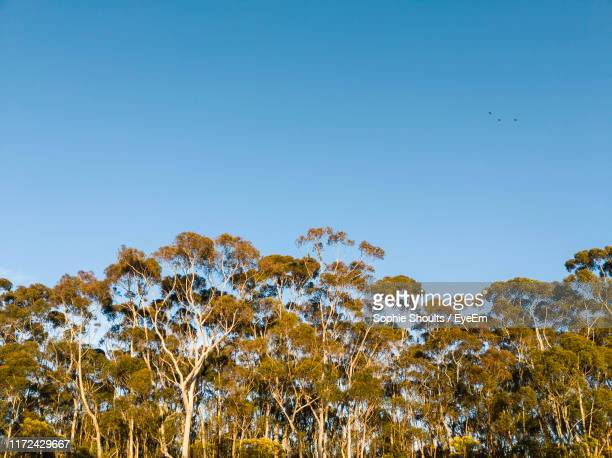 low angle view of trees against clear blue sky - golden hour stock pictures, royalty-free photos & images