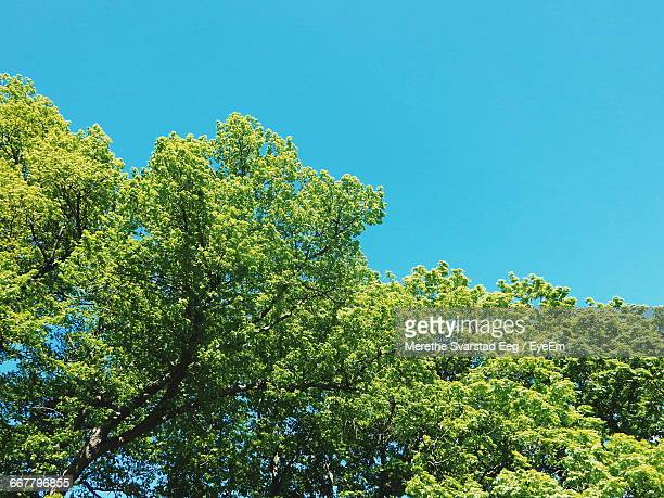 low angle view of trees against clear blue sky - treetop stock pictures, royalty-free photos & images