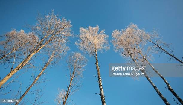 low angle view of trees against clear blue sky - paulien tabak 個照片及圖片檔