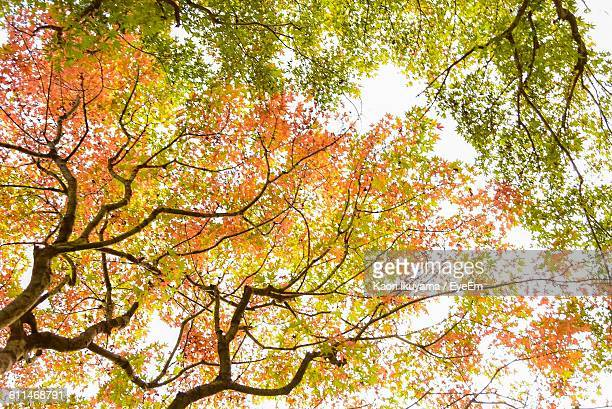 Low Angle View Of Trees Against Clear Sky During Autumn