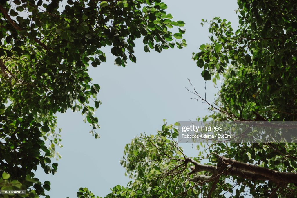 Low Angle View Of Trees Against Clear Sky : Stock Photo