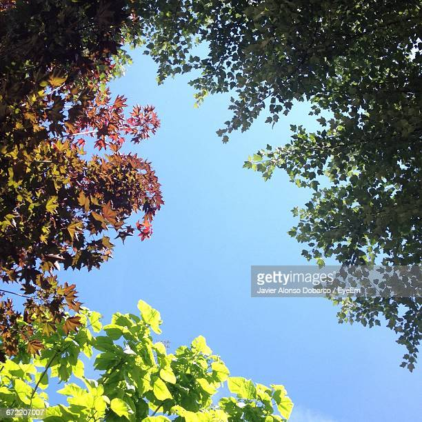 low angle view of trees against clear sky - javier alonso fotografías e imágenes de stock