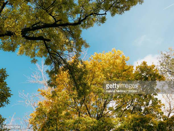 low angle view of trees against sky during autumn,russia - nikitina stock pictures, royalty-free photos & images