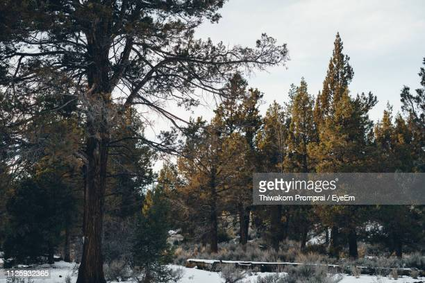 low angle view of trees against sky during winter - big bear lake stock photos and pictures