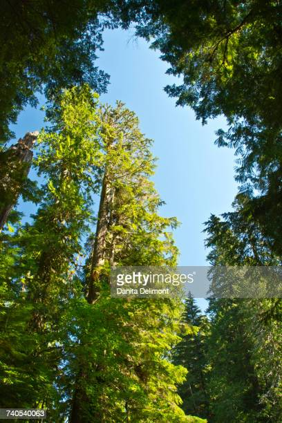 low angle view of trees against sky, grove of the patriarchs trail, mount rainier national park, washington state, usa - grove stock-fotos und bilder