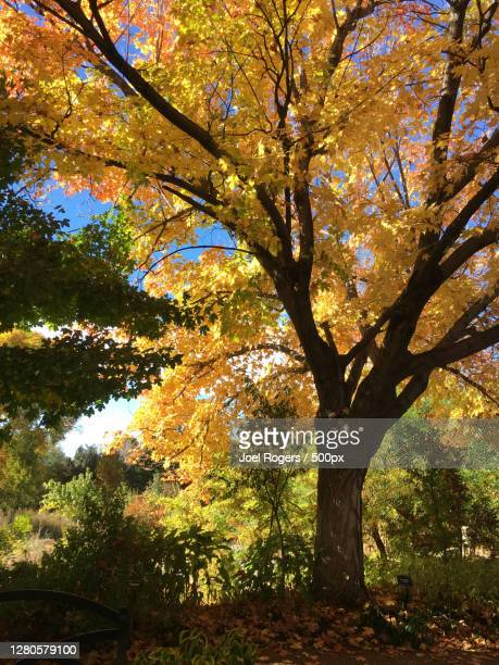 low angle view of trees during autumn - joel rogers stock pictures, royalty-free photos & images