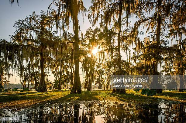 low angle view of trees growing by swamp - louisiana stock photos and pictures