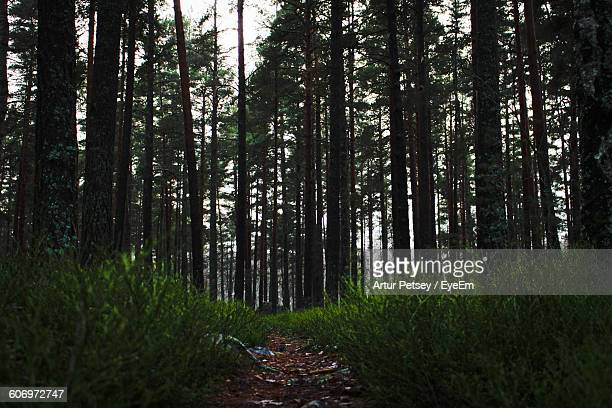 low angle view of trees growing in forest - artur petsey foto e immagini stock