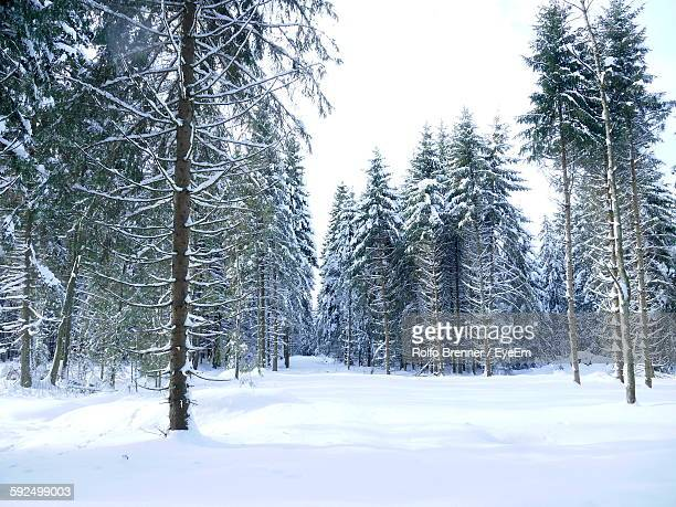 Low Angle View Of Trees Growing On Snow Covered Field In Forest
