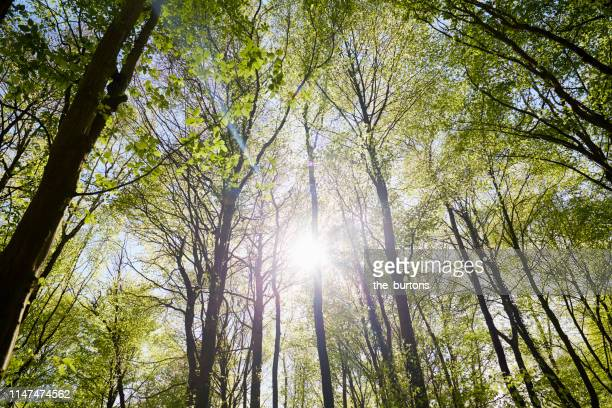 low angle view of trees in a forest against sun and sky in springtime - sonne stock-fotos und bilder