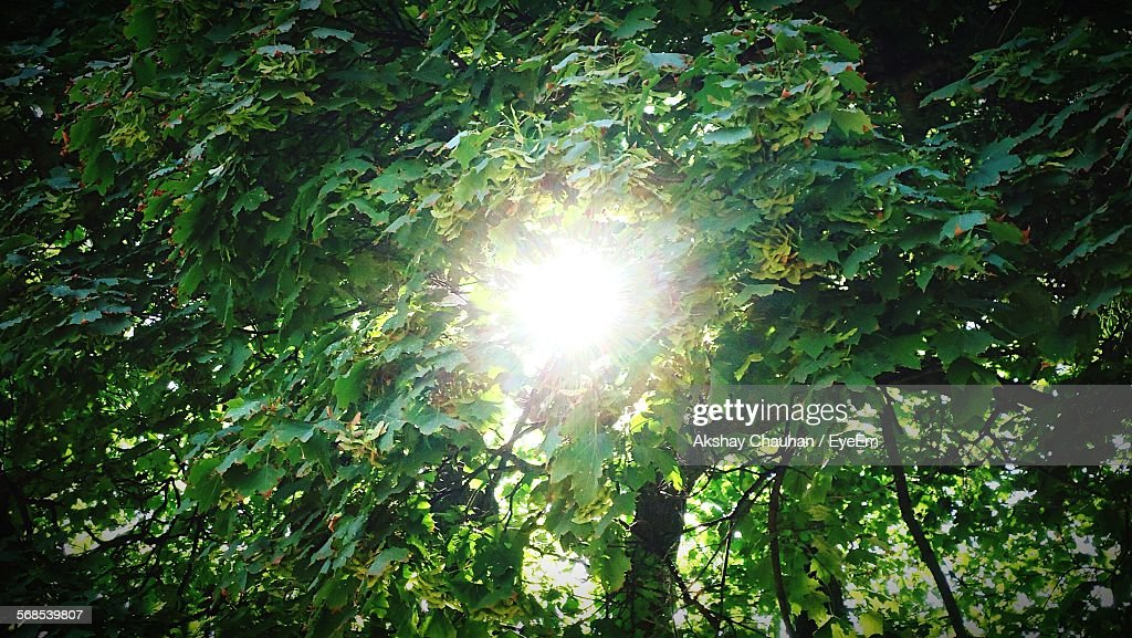 Low Angle View Of Trees In Forest Against Bright Sun : Stock Photo