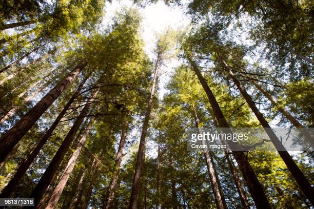 Low angle view of trees in forest at Redwood National Park