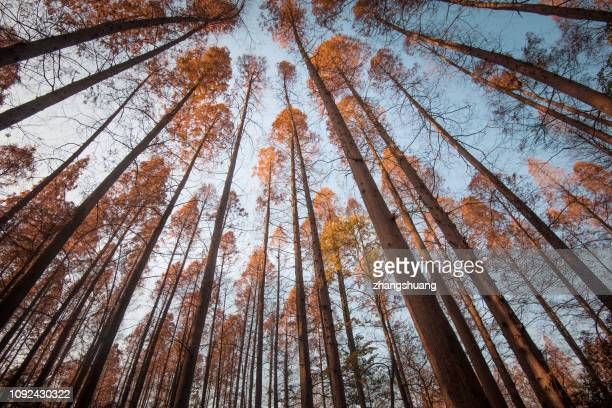 low angle view of trees in forest during autumn - sequoia tree stock pictures, royalty-free photos & images