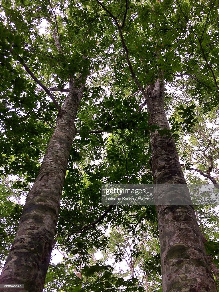 Low Angle View Of Trees In Forest : Stock Photo