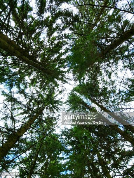 low angle view of trees in forest - anastasi foto e immagini stock