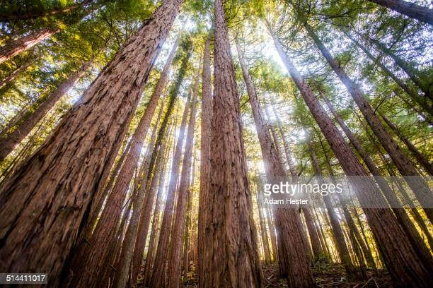 low angle view of trees in sunny forest - muir woods stock photos and pictures