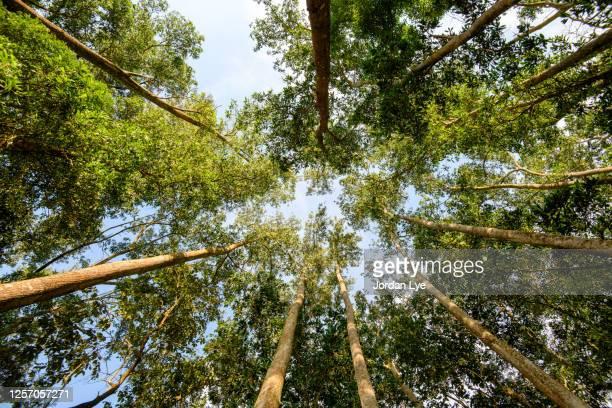 low angle view of tropical trees - trädtopp bildbanksfoton och bilder